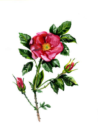 Water color dogrose flowers photo