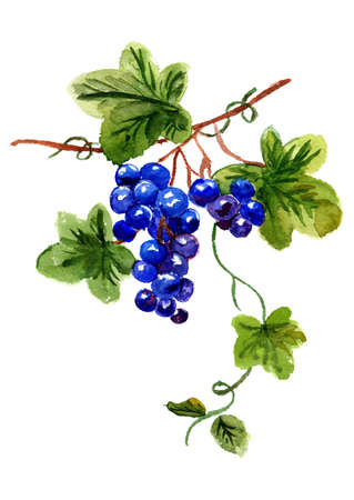line drawing: Watercolor  bunch of grapes on a white background