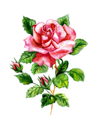 painted image: Watercolor three roses on a white background
