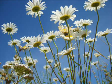 white camomiles on blue sky