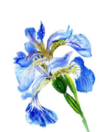 watercolor beautiful violet  irises isolated  photo