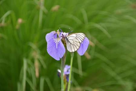 butterfly on an iris flower photo