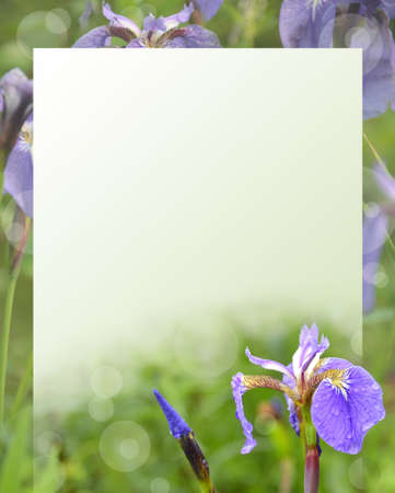 iris flowers on a green background for the text. Stock Photo