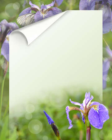 isolated irises: iris flowers on a green background for the text