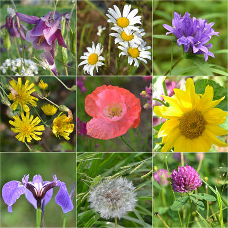 Collage full of wild flowers. sunflower, dandelion, iris, clover, camomile, Aquilegia , poppy, hand bell Stock Photo - 15192276
