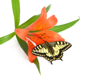 butterfly on red lily on white background photo