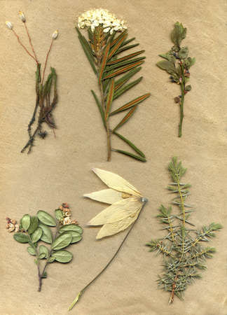 vintage herbarium background on old paper photo