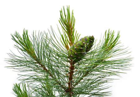 siberian pine: Siberian pine cone with branch Stock Photo