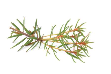 palustre: Marsh (Northern) Labrador Tea isolated on white