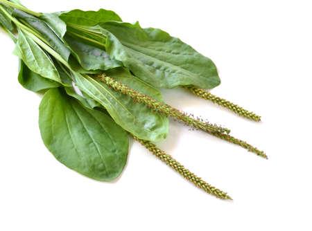 Greater Plantain (Plantago major or