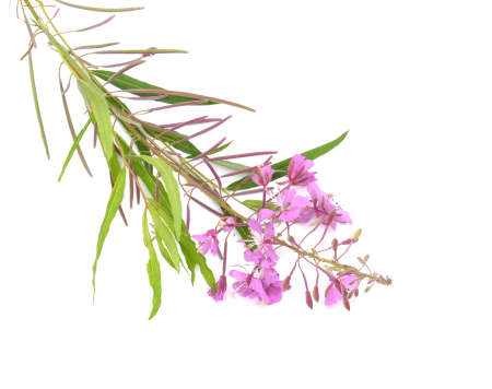 angustifolium: Pink flower Chamerion angustifolium, commonly known as great willow-herb, isolated on white background
