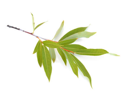 salix alba: Green leaves of the White willow (Salix alba), isolated on the white