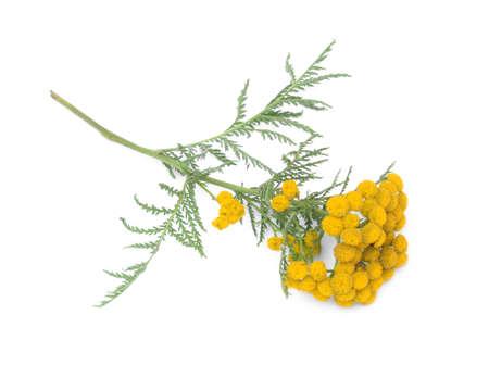 inflorescence: Inflorescence flowering plant Tanacetum isolated on white background