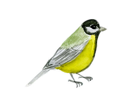 redbreast: watercolor drawing bird, titmouse at white background, hand drawn Stock Photo