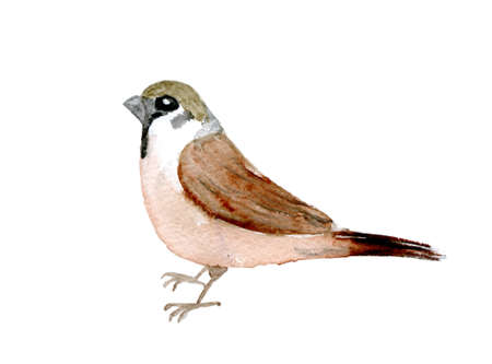 redbreast: watercolor drawing bird,  sparrow at white background, hand drawn