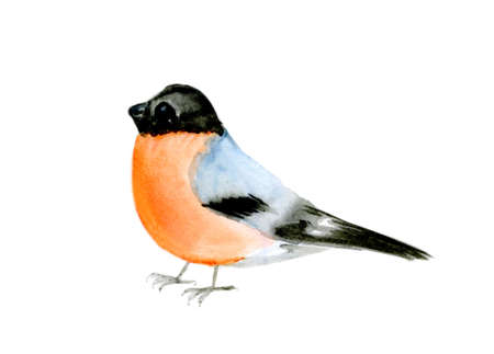 watercolor drawing bird, bullfinch at white background, hand drawn