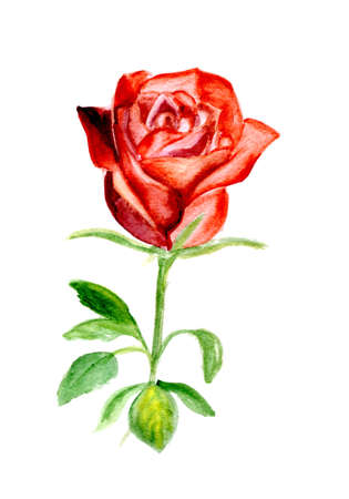 nature one painted: watercolor a rose on isolated a white background.