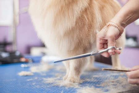 Dog Pomeranian haircut women master grooming dogs in a salon Stockfoto