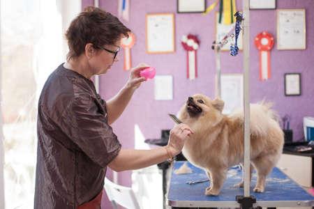 Dog Pomeranian haircut women master grooming dogs in a salon Reklamní fotografie