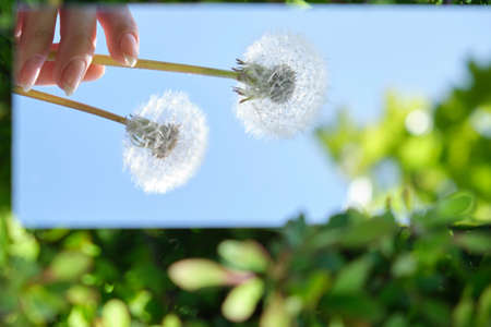 abstraction. in the mirror are female hands, dandelions sky. green nature around. close-up Stockfoto