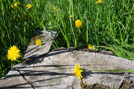 abstraction. in the mirror are female hands, dandelions sky. green nature around. close-up