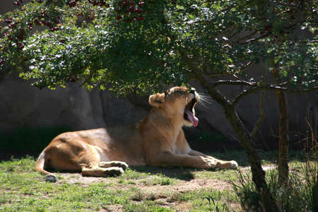 gaping: a female lion yawning while resting under a tree Stock Photo
