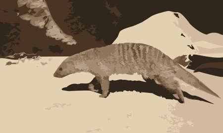 meerkat: Vector illustration of a meerkat walking in the desert