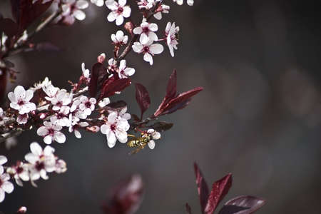 bee on flower: macro shot of a cherry tree in spring blossoming