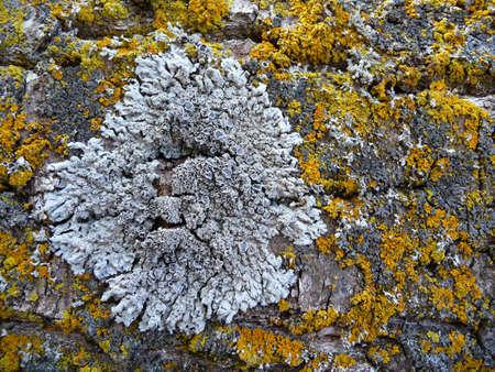 マクロ黄色と灰色の苔癬