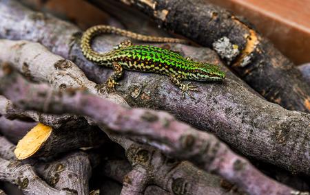 animal viviparous: wild green lizard