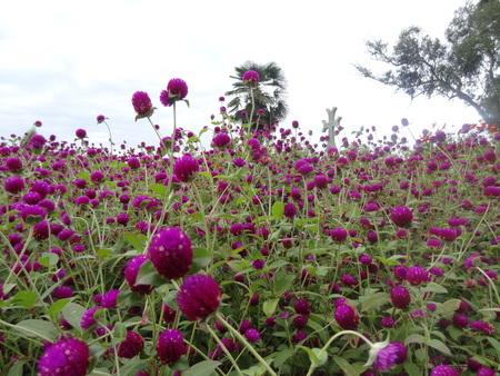 botanic: Batumi Botanic Garden Flowers - Amaranthaceae - East India