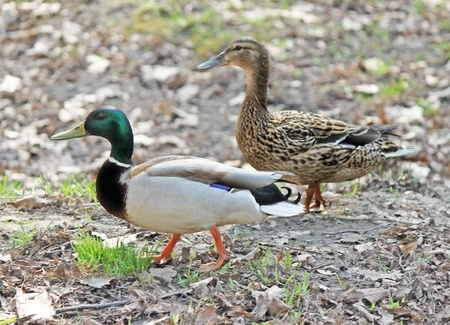 Two ducks - male and female - are walking together photo