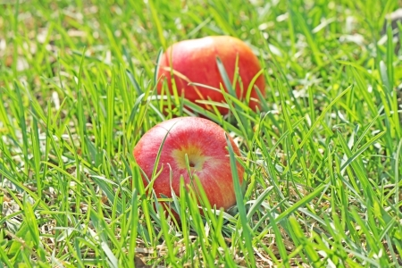 Two red apples in the green grass