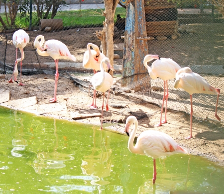 Pink flamingos are standing in the water Stock Photo - 14610081