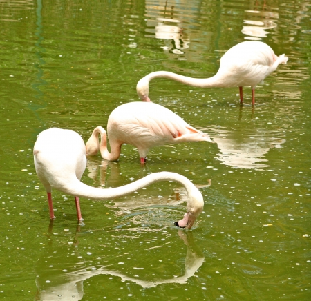 Pink flamingos are standing in the water Stock Photo - 14610077
