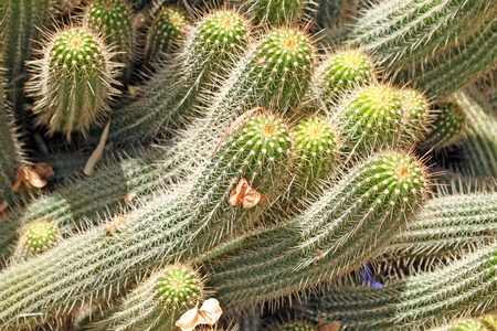Close-up of a prickly cactus, exotic plants Stock Photo - 15133486
