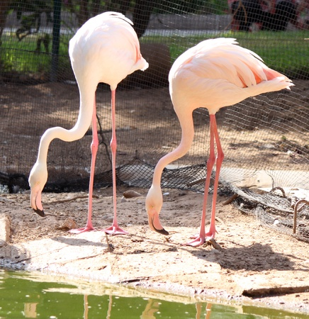Pink flamingos are standing in the water Stock Photo - 15170822
