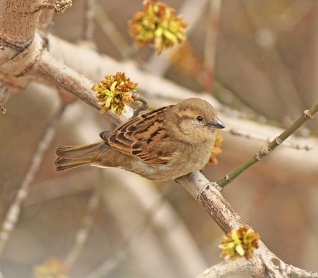 Closeup grey sparrow sitting on a branch Stock Photo