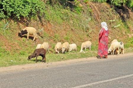 Woman shepherd herding sheeps photo