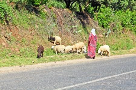 herding: Woman shepherd herding sheeps Stock Photo