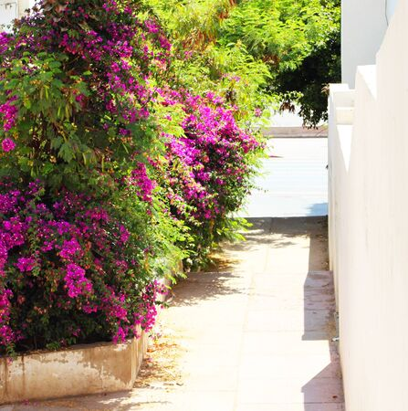 Tropical road with bougainvillea flower bush