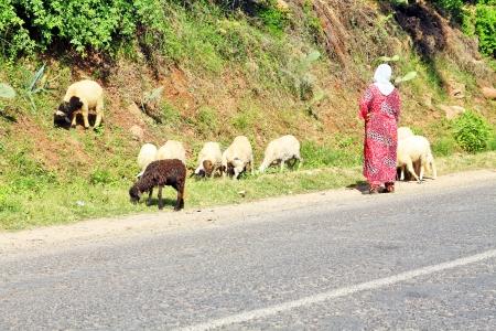 in herding: Woman shepherd herding sheeps Stock Photo