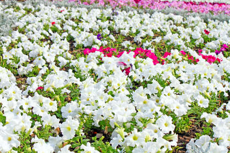Beautiful colorful petunias on the flower field, selective focus Stock Photo