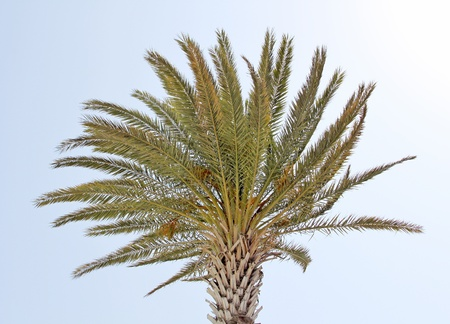 Green palm tree top backgrounded by a clear blue sky Stock Photo - 17313220