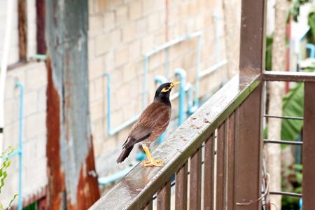 black feathered: Common Myna, Mynah Acridotheres Tristis Tristis Stock Photo