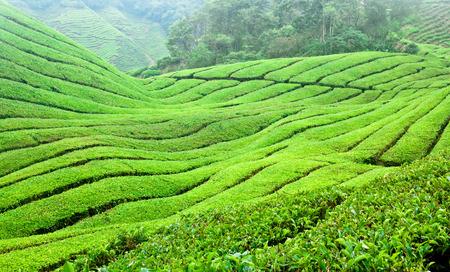 東南アジア マレーシアのキャメロンハイランドの紅茶プランテーション 写真素材