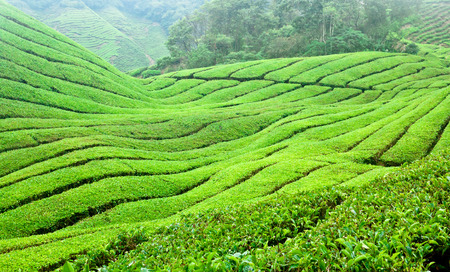 Tea Plantations in Cameron Highlands in Malaysia, South-East Asia