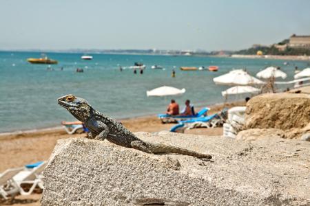 ウエスト サイドのビーチ, トルコとトカゲ 写真素材