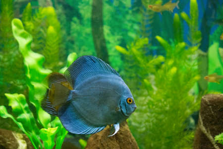 piranha river fish in home aquarium photo