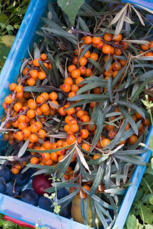 harvesting of sea buckthorn in a container photo